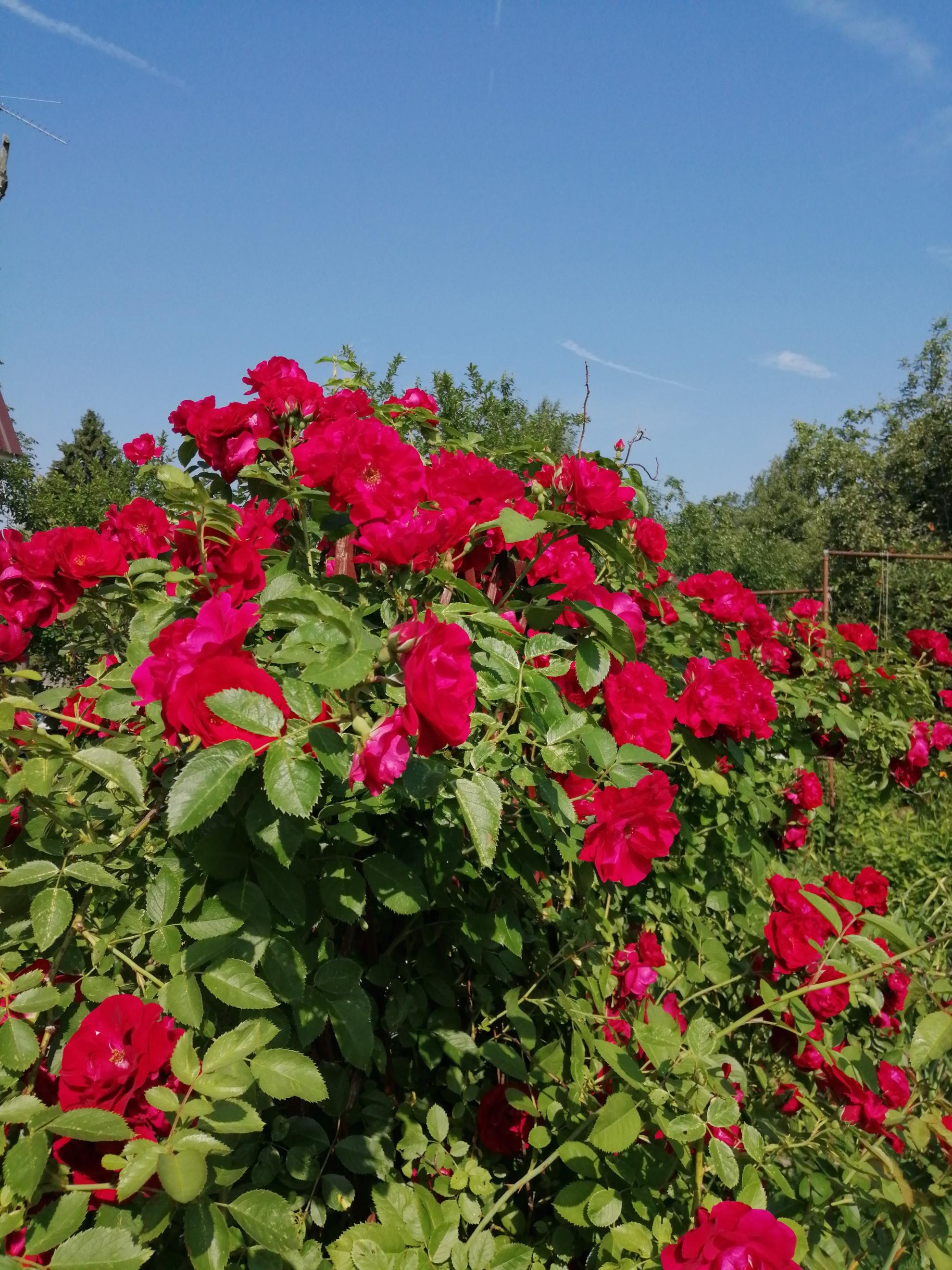 никто роза фонтейн плетистая женатый